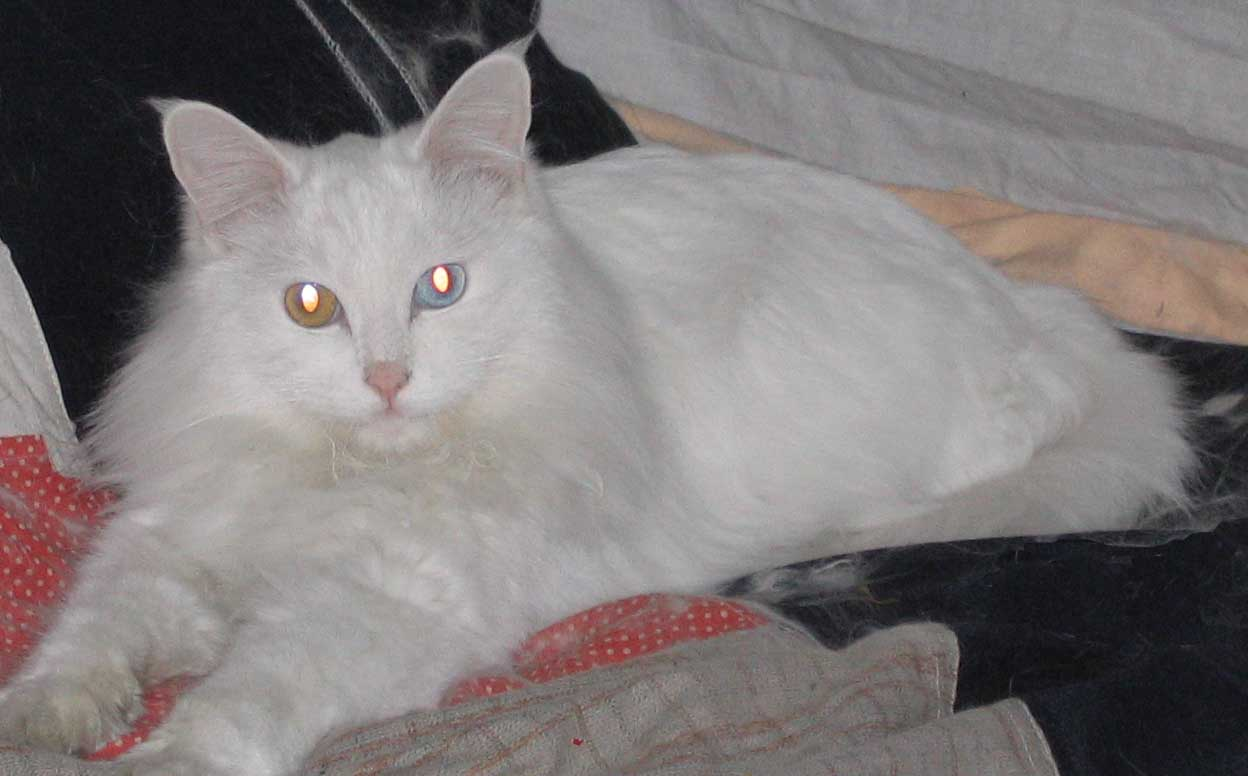 我想领养一只白色的小波斯猫,眼睛要一黄一蓝的,不知道谁那边有?最好是刚满月的 联系QQ:156452467, 焦急等待中,谢谢!!! [cycycy] 于2005-05-27 15:28:37 回复: 就是这样可爱的